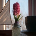 Hyacinth bulb in flower, with hydrogel beads