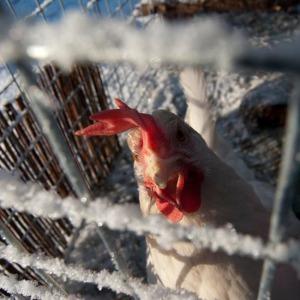Outdoor hen