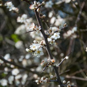 Blackthorn blossom - close up
