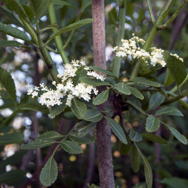 Elderflowers in the hedgerow