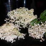 Different quality elderflowers
