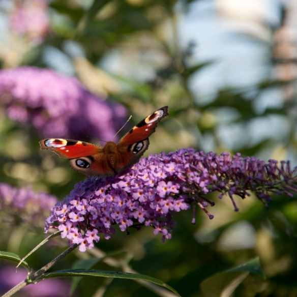 Peacock butterfly on buddleia flower.
