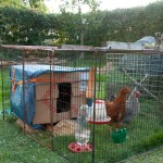 First 'contraption' temporary hen-house