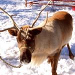 Token reindeer!
