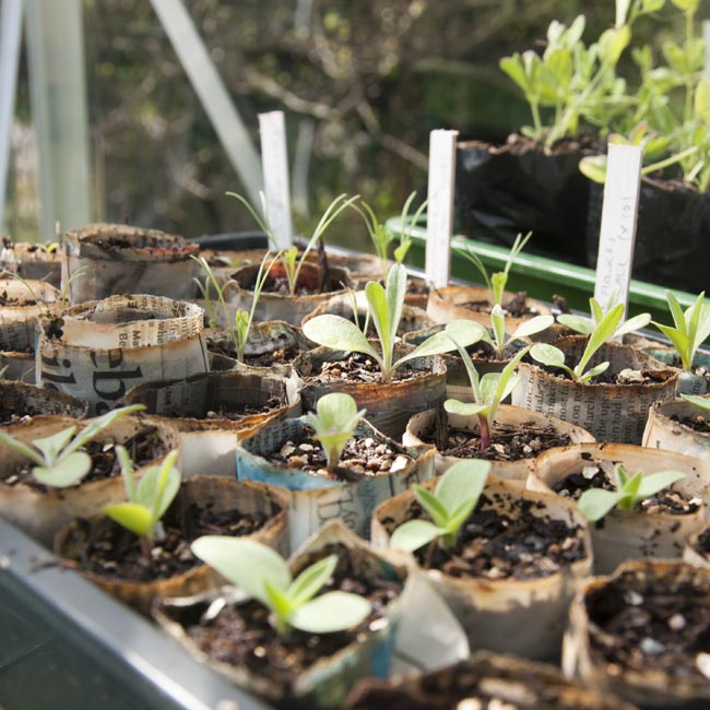 Seedlings for the cut flower patch