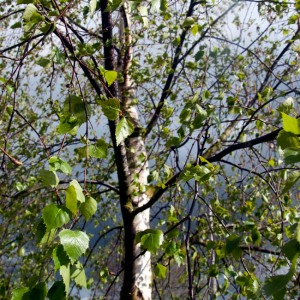 Stormy spring beech tree