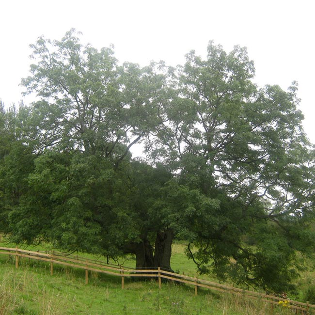 A lovely veteran ash tree