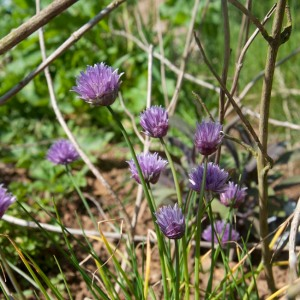 Chive flowers growing in the garden