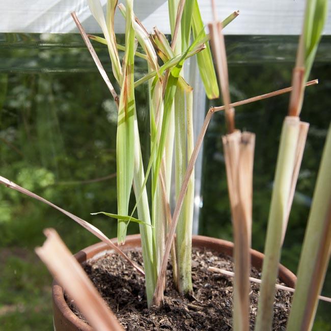 New stems emerging
