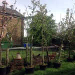 My poor potted orchard!