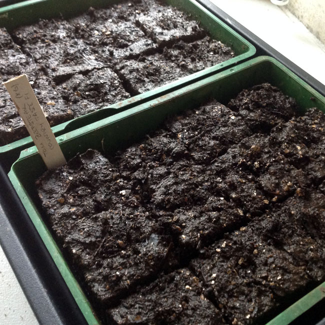 Half seed trays of soil blocks