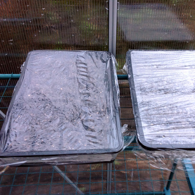 Covered seed trays in greenhouse