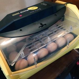 Eggs loaded into incubator