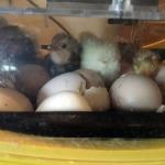eggscapade-3_4