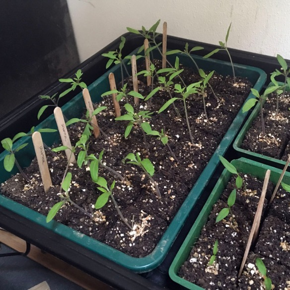 Strong growing seedlings