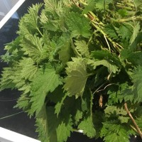 Picked stinging nettles